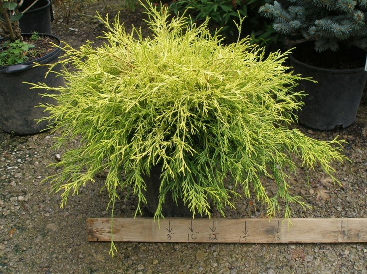 61 Best Images About Evergreen Plants On Pinterest Sun