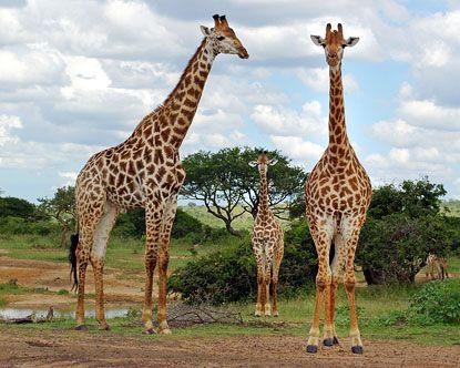 ALREADY VISITED  South Africa Safari. Hluhluwe Umfolozi Game Reserve - Hluhluwe Game Reserve