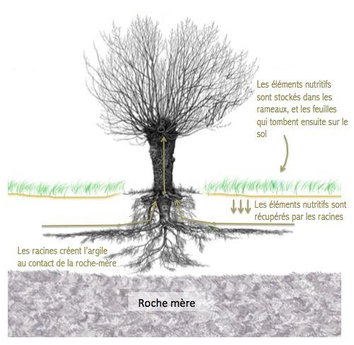 Même dans un petit jardin, les arbres ont une grande importance. Leurs racines situées sous la couche de sol riche en matière organique récupèrent les éléments nutritifs (magnésium, calcium, phosphore, potassium, etc...) et les recyclent dans les branches et les feuilles qui fourniront ensuite un excellent paillis.  Au contact de la roche-mère, les racines créent de l'argile qui sera utilisée par les vers de terre pour générer le complexe argilo-humique nécessaire à la fertilité du sol.