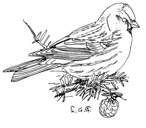 Common Redpoll coloring page from Redpoll category Select