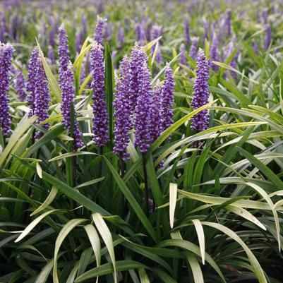 Purple Explosion™ Liriope PP21352 Liriope - see also http://www.foremostco.com/Cultural%20Information/Liriope%20muscari%20Purple%20Explosion%20Cultural%20Information%20Sheet.pdf