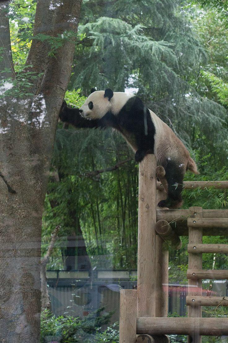 3217 best pandas images on pinterest panda bears giant pandas kung fu panda panda bears los pandas wall mural knock knock beautiful creatures animal kingdom grandkids wildlife amipublicfo Image collections