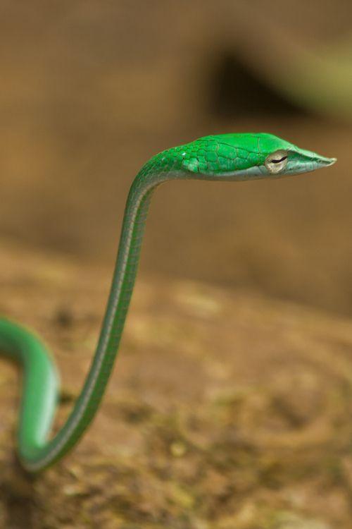 Vine snake. Cool #snakes #reptiles #topanimals