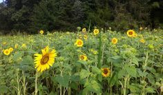 Sunflowers at Cedar Hill Farm, Hernando, Mississippi. Perfect for pictures!