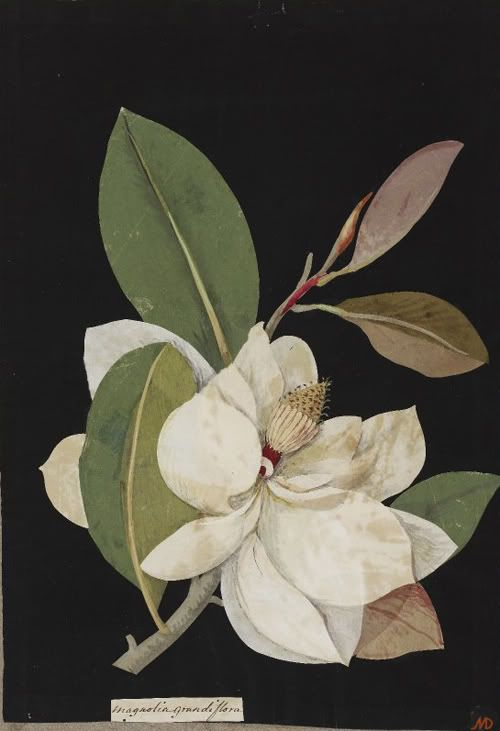 Mary Delany, Magnolia Grandiflora, 1776