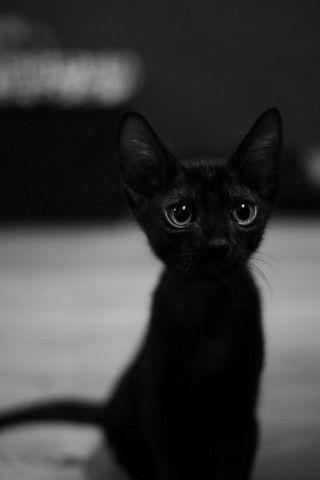 Adorable: Kitty Cat, Black Kitty, Chat Noir, Chatnoir, Black Kittens, Big Eye, Blackcat, Black Cat, Baby Cat