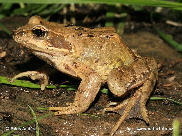Skokan hnědý (Rana temporaria) - častější, než skokan zelený, vodní plochy vyhledává pouze v době rozmnožování.