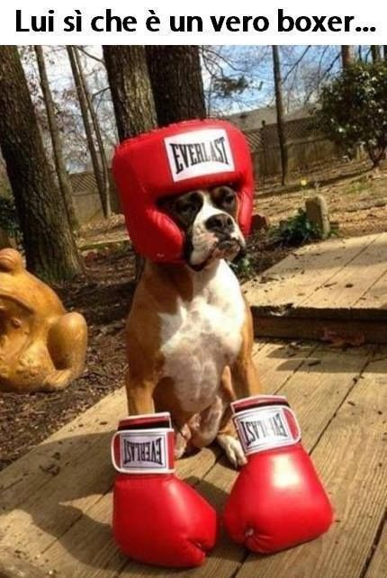 he is a true boxer! get it? yes? no?  #petcostumes