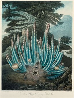 Dr Robert John Thornton (1768-1837),... The Maggot-bearing Stapelia; The Dragon Arum; American Bog-Plants; and Pitcher.  Surviving complete editions of the Temple of Flora number today among the great treasures of only a few libraries; meanwhile, the individual plates have become sought-after and extremely expensive collectors' items, whose particular allure lies in their unusual combination of monumental, at times exotic plants with highly romantic background landscapes.