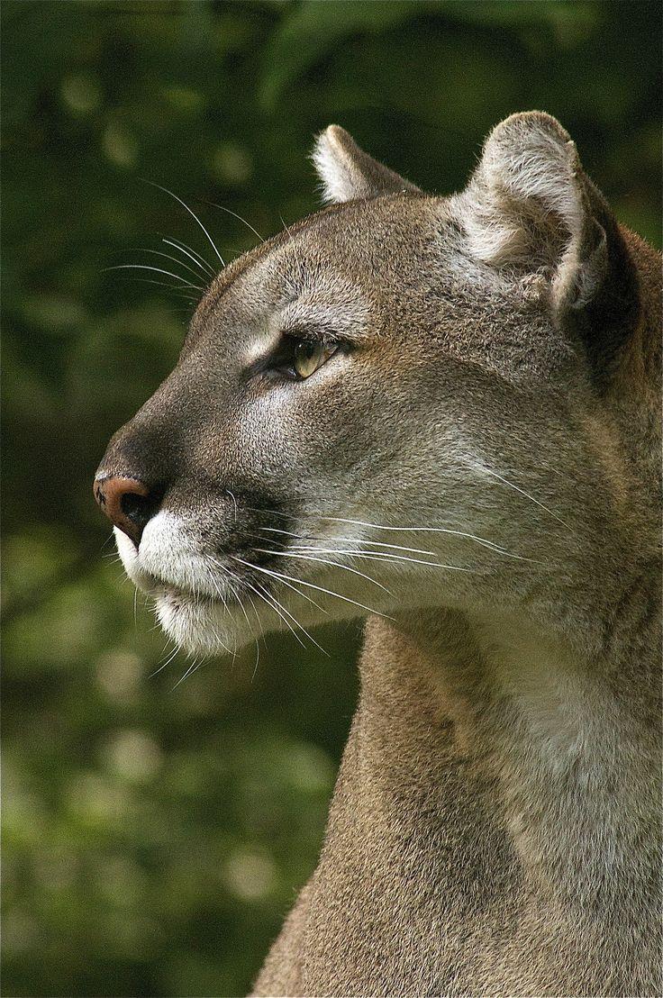 Cougar Looking Pretty Serene.