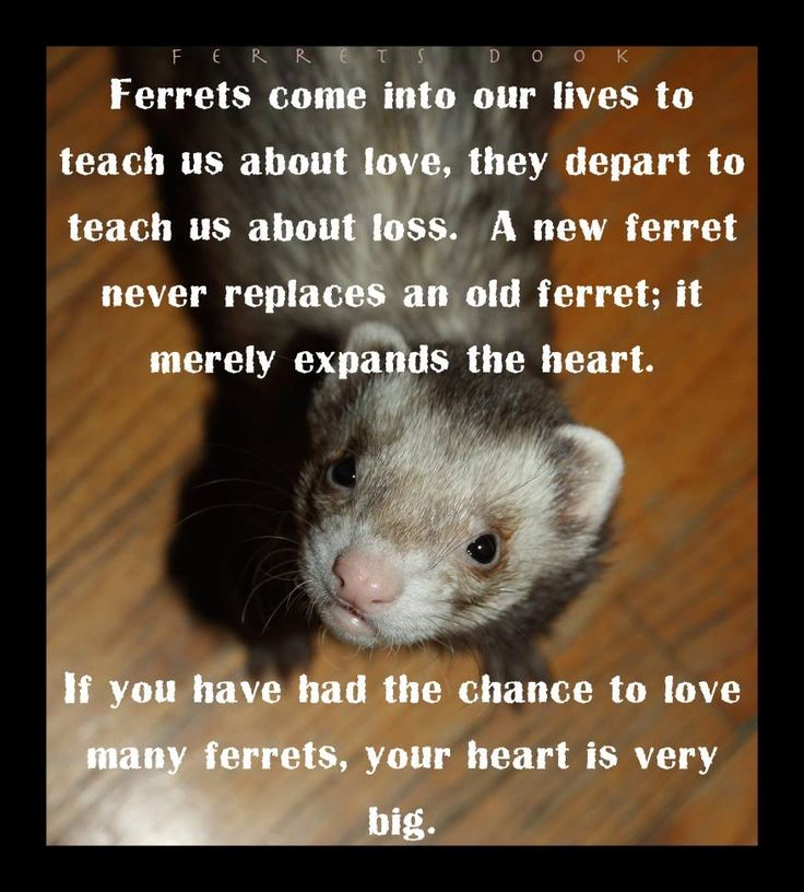 Pin by Julie Rasmussen on Fuzzies! | Ferret, Cute ferrets ...