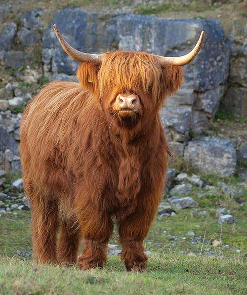 Fabulous And Beautiful Cow