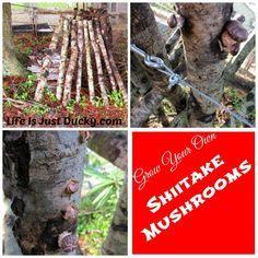 Growing Shiitake Mushrooms - Step by step how to from cutting down the tree to harvesting big basket-fulls of wonderful gourmet mushrooms.