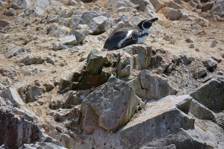 バジェスタス諸島、ペンギン。