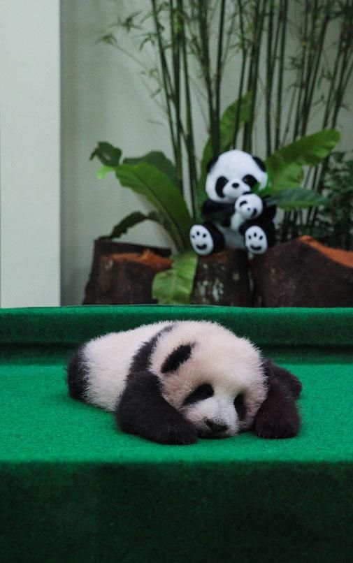 Malaysia just trotted out its newest baby giant panda, and like all other baby pandas, she is incredibly adorable