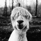 PENTAX Photo Gallery : Face-to-Face with a Harmless Alpaca - by Andrew Schwartz