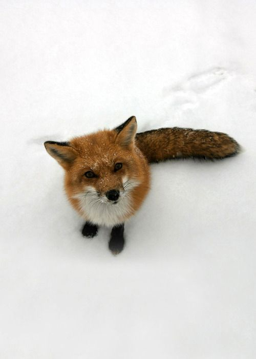 Foxes!!!!!!  Domesticated foxes -- only $5,000!    Getting this..
