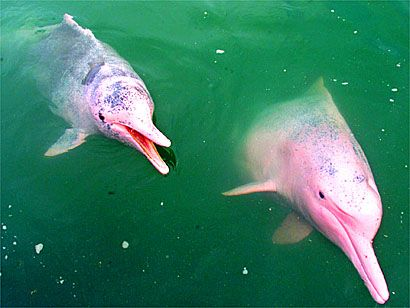 Amazon pink river dolphins