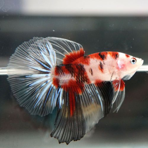 1496 best images about just keep swimming on pinterest for Beta fish food