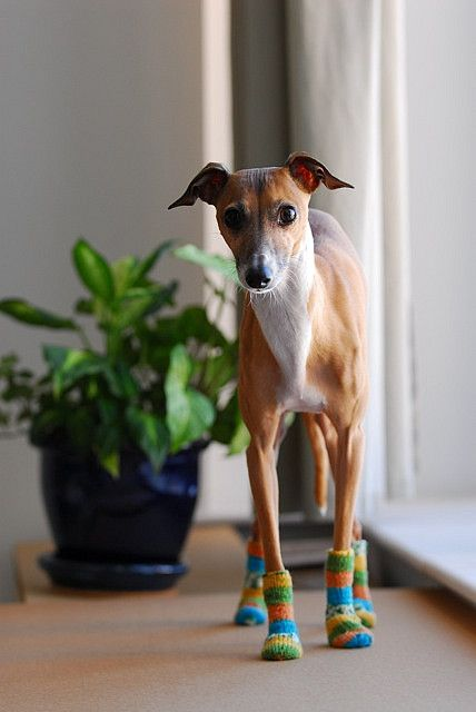 ~ Italian Greyhound in knitted dog socks ♥~