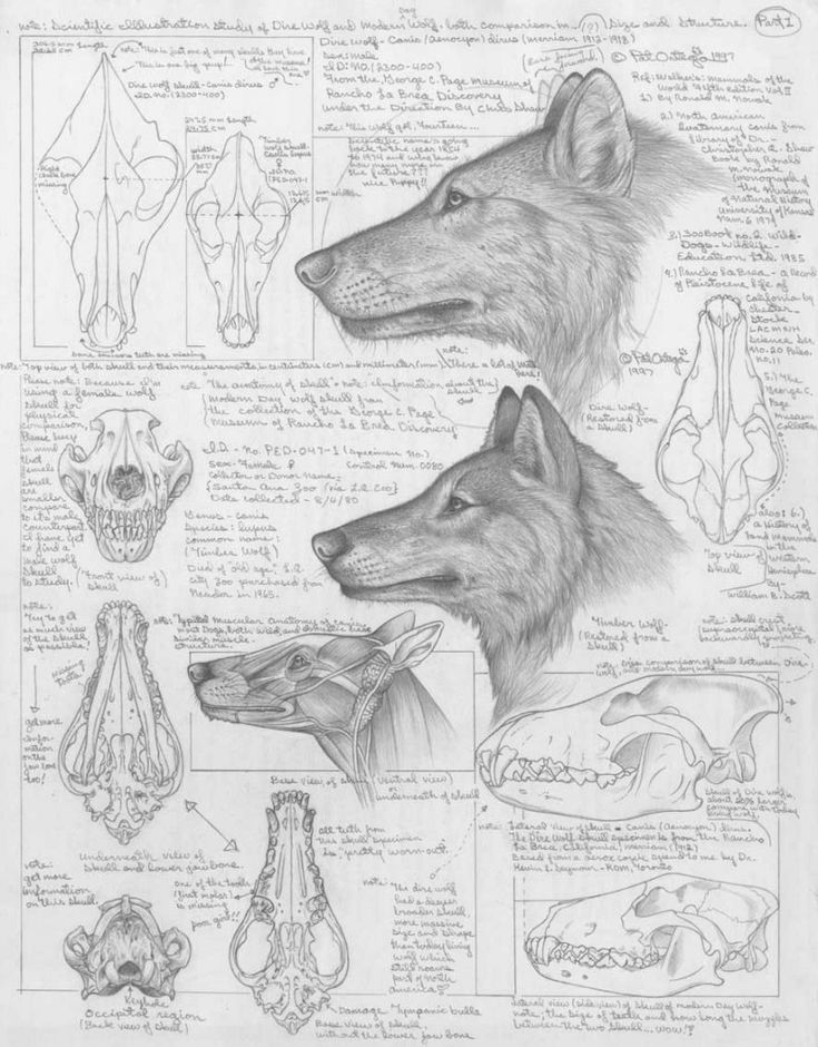 Differences between Dire Wolves and Grey Wolves, via the Palaeocast podcast website.