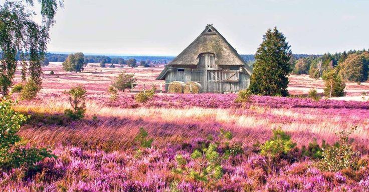 Heideblüte in der Lüneburger Heide - Wanderwege der Lüneburger Heide entdecken