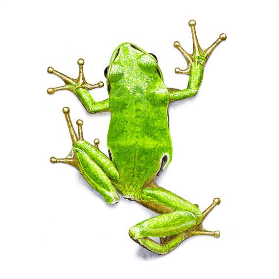 17 Best ideas about Frog Drawing on Pinterest | Frog ...