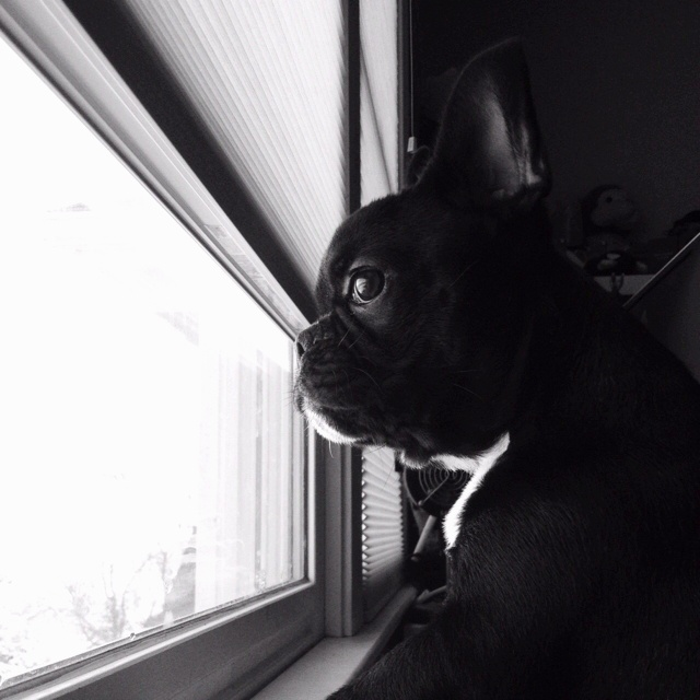 frenchton single guys The french bulldog, also known as frenchie, is a small breed of domestic dog  the french bulldog has only a single short coat .