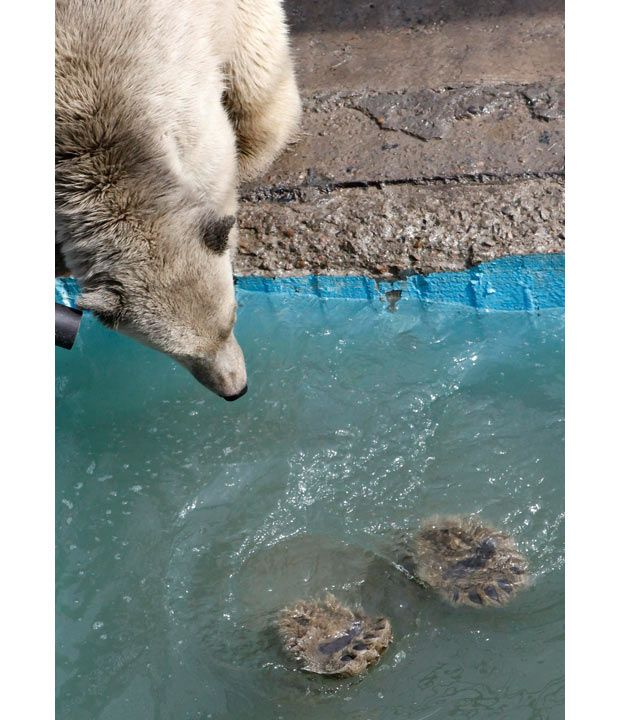 Aurora and Victoria, two one-year-old female polar bear cubs, dive in a swimming pool which was filled with water for the first time this spring at the Royev Ruchey zoo in Russia's Siberian city of Krasnoyarsk. The wild polar bear cubs were found in Russia's Taimyr Peninsula on the Arctic Ocean coast in May 2010 and were later housed at the zoo in Krasnoyarsk.