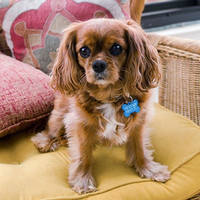 Cavalier Rescue USA - Lucy in Hayward, CA