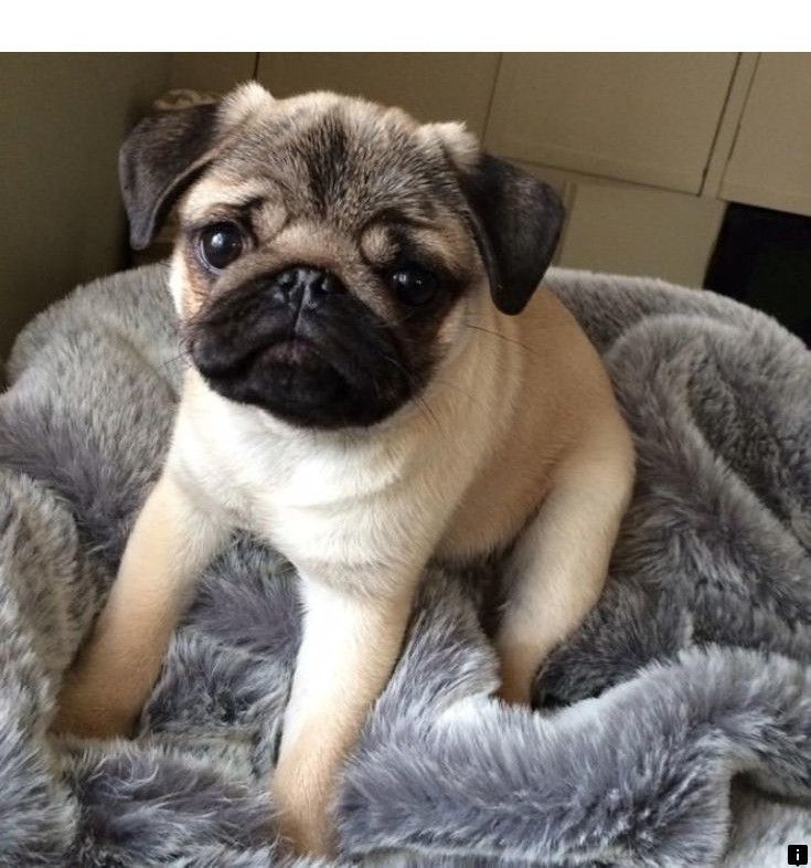Want To Know More About Where Can I Buy A Pug Click The Link For