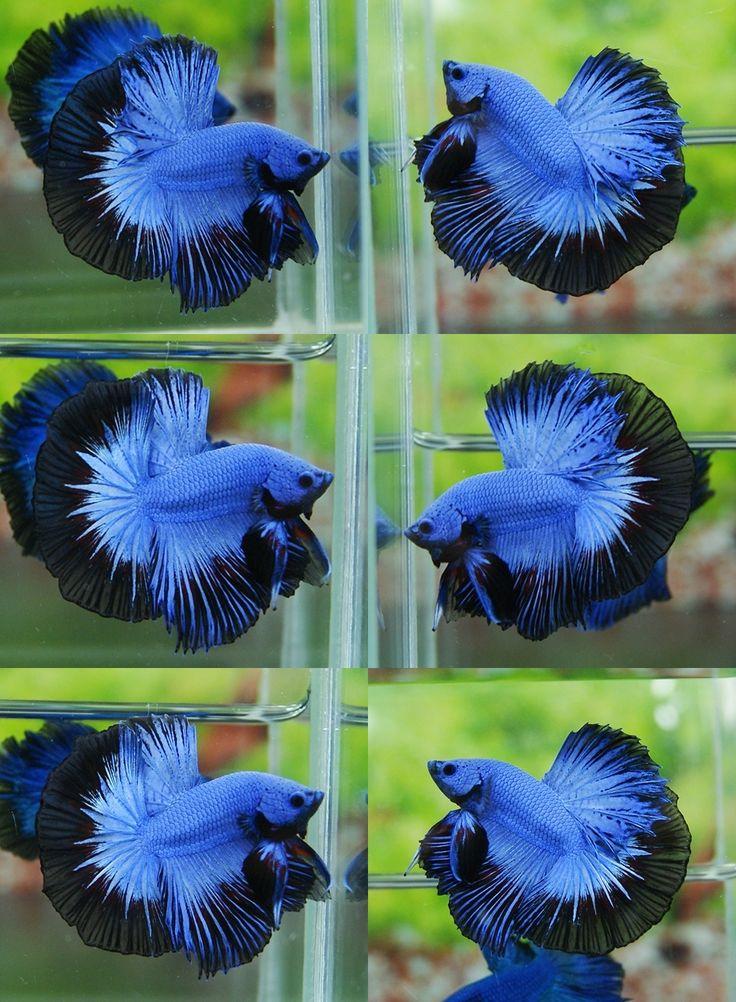 BLACK BLUE DRAGON HM Male