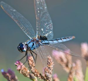 Dragonfly Habitat: What Do Dragonflies Eat?