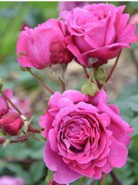 Rosa x Générosa® Ventilo