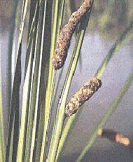 Аир обыкновенный Внешний вид: Многолетнее травянистое растение высотой до 1,2 м. Цветет с мая до июля. Размножается вегетативно (корневищами). Место произрастания: Родина — Юго-Восточная Азия. Широко распространено в европейской части России, на Украине, в Литв