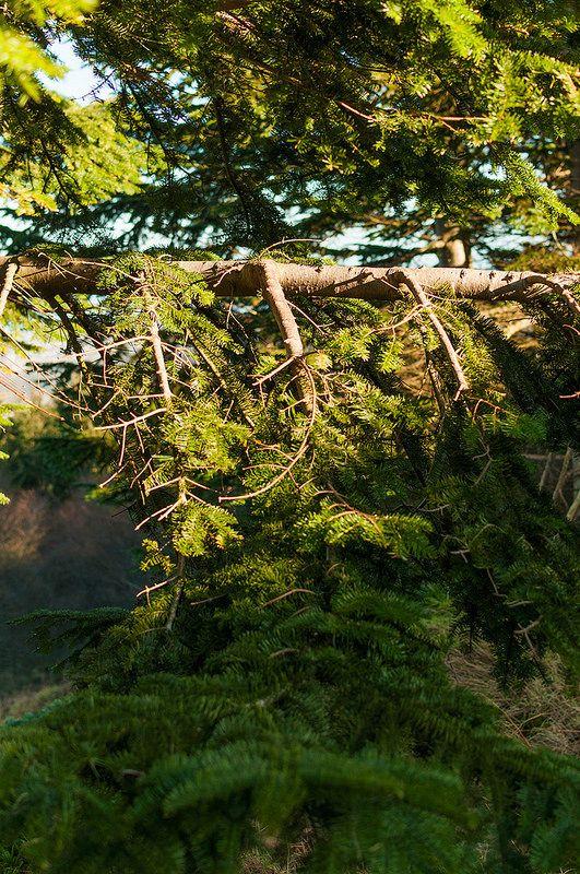 Pine branches, Ticknock mountain, Ireland
