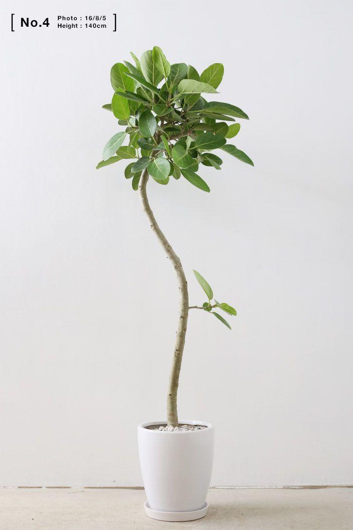 【 選べる樹形 】。フィカス ベンガレンシス【 XLサイズ 】( シンプルPot )