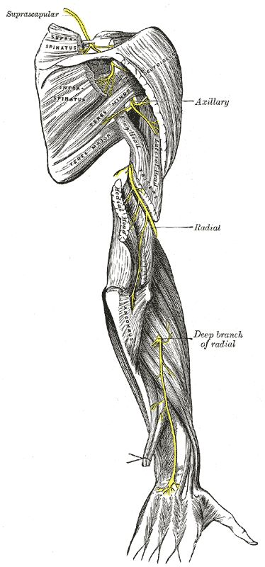 Upper and lower suprascapular nerve arises from the superior trunk of the brachial plexus.