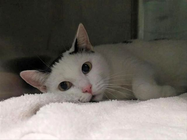 NEMO - 16765 - - Brooklyn *** TO BE DESTROYED 12/30/17 *** **SPAY-ABORTED** Finding NEMO A Fabulous New Home Is Our New Year's Wish! Adorable Young Black & White Kitty at BACC! NEMO was found in Brooklyn. She had been pregnant and about 2 yrs old. Nemo allows all handling but is a bit nervous. She needs a furever home asap. - Click for info & Current Status: http://nyccats.urgentpodr.org/nemo-16765/