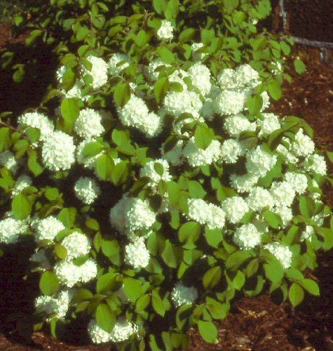 Newport Viburnum - Dwarf Snowball Bush (2 feet tall in full gallon containers), http://www.amazon.com/dp/B00852WPT4/ref=cm_sw_r_pi_awdm_FWc3tb13ZFJ3X