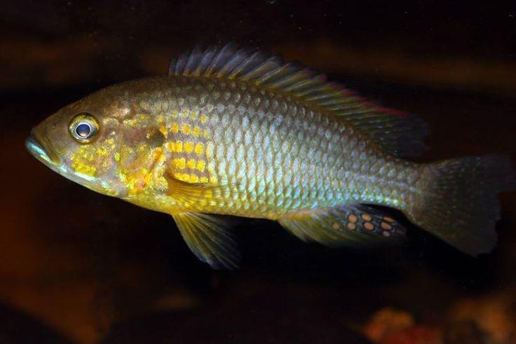 Картинки по запросу Astatoreochromis straeleni