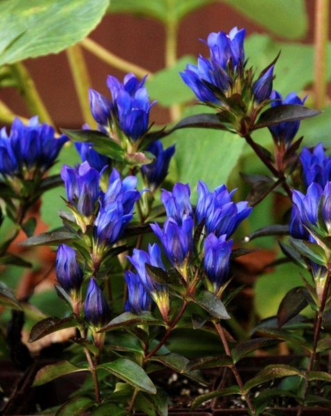 "Gentiana 'True Blue' | zones 4-8 | late July to Sept. blooms | full sun best | well-drained, avg. moisture | 18"" high w/2"" blooms 