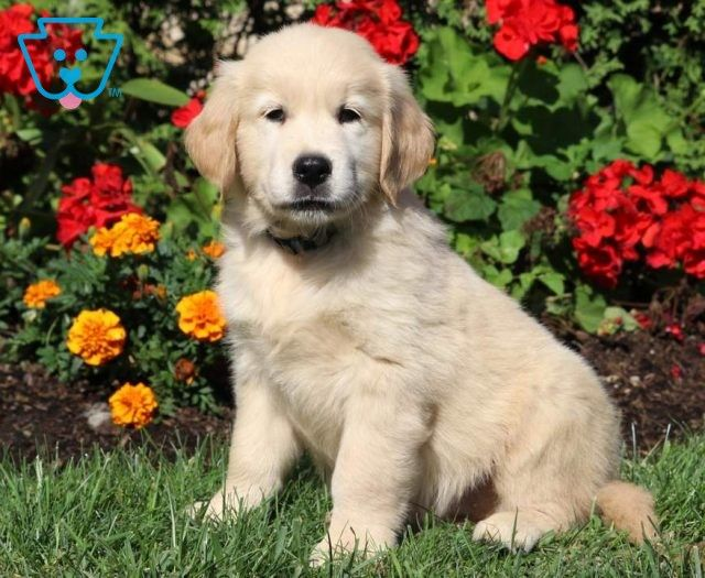 Buster Golden Retriever English Cream Puppy For Sale Keystone Puppies Golden Retriever Cute Baby Puppies Newborn Puppies