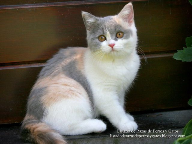 Gatito Británico de pelo corto (British Shorthair kittens) con un manto tricolor