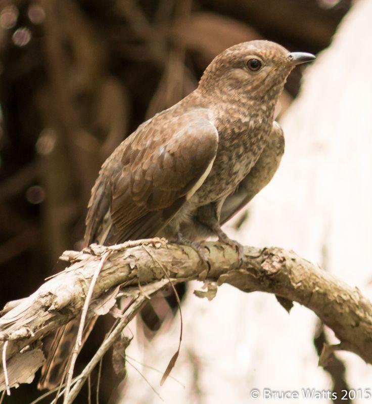 Brush Cuckoo - Kurri Woodland