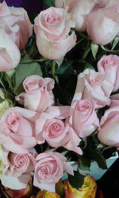 Розы Принцесса