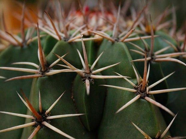 coroa de frade #cactus  (Foto: FLO Atelier Botânico) matéria: Você sabe (realmente) o que é uma planta suculenta?