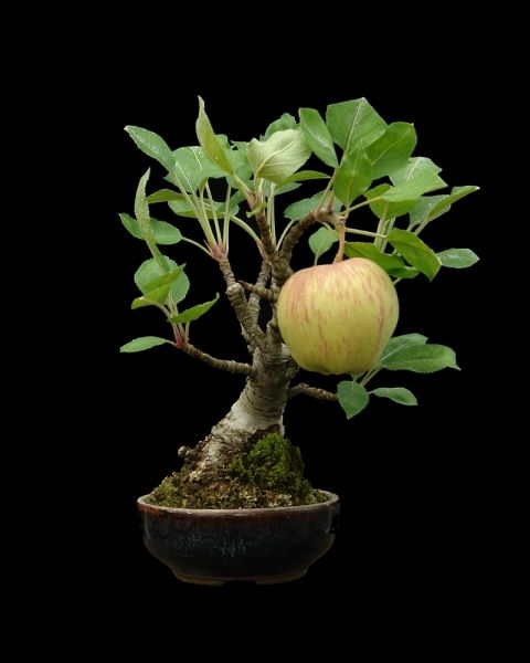 1000 images about bonsai fruit on pinterest crab for Unusual bonsai creations
