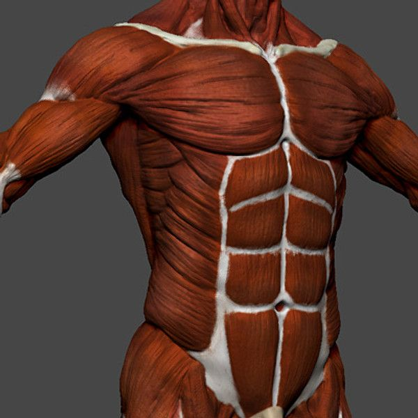 biggest muscles in the human body - 600×600