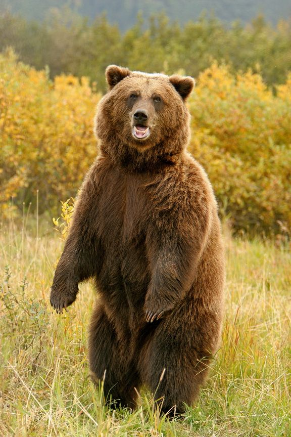 Brown bear standing ta...